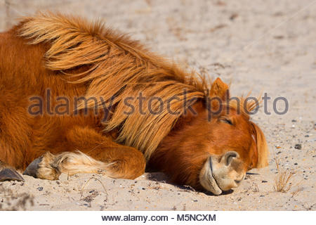 An Assateague horse (Equus caballus), also known as a Chincoteague pony, takes a nap on a sand dune in the Assateague - Stock Photo