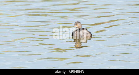 Least Grebe (Tachybaptus dominicus) Swimming in a Small Freshwater Lake in Mexico - Stock Photo