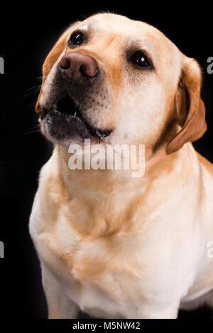 Portrait of cute young labrador retviever. - Stock Photo