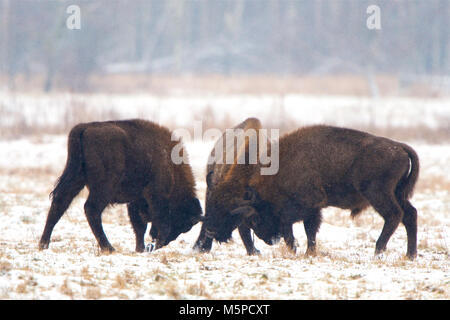 Three full-grown European Bison sparring, in a snowed wintery landscape, in Bialowieza National Park, in Poland. - Stock Photo