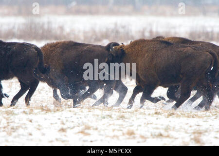 A herd of European Bison stampedes, in a snowed wintery landscape, in Bialowieza National Park, in Poland. - Stock Photo