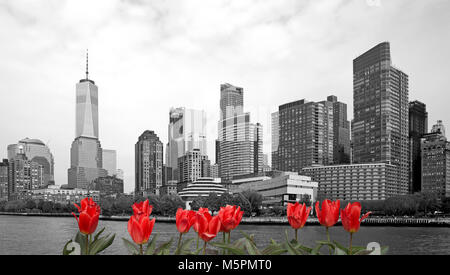 Black and white view of New York city with red tulips on front - Stock Photo