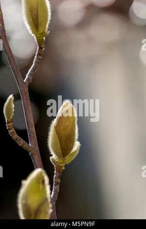 Magnolia buds growing in the late winter February sunshine - Stock Photo