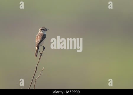 The Siberian stonechat or Asian stonechat (Saxicola maurus) is a recently validated species of the Old World flycatcher - Stock Photo