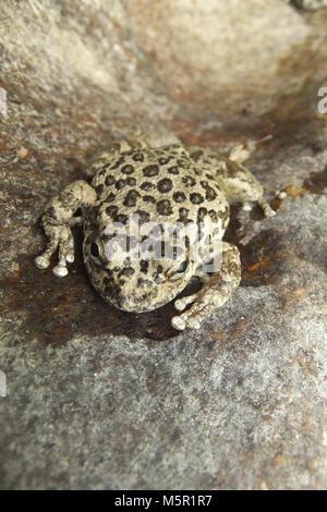 California tree frog (Pseudacris cadaverina); adult . - Stock Photo