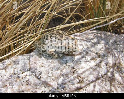 California tree frog (Pseudacris cadaverina) . - Stock Photo