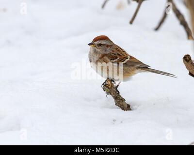 American Tree Sparrow (Spizella arborea) in snow - Stock Photo
