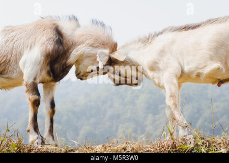Himalayan goats fighting at the field. - Stock Photo