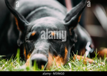 Young, Beautiful, Black And Tan Doberman Resting In Green Grass. Dobermann Is A Breed Known For Being Intelligent, - Stock Photo