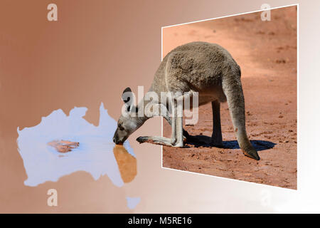 Out of Frame Kangaroo drinking from a puddle in the shape of Australia - Stock Photo