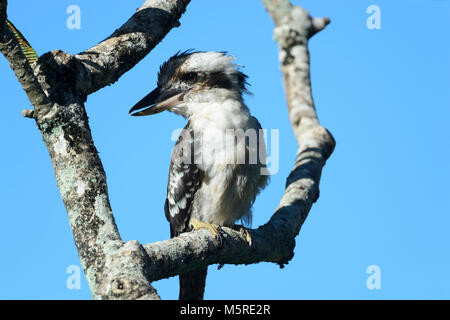 Laughing Kookaburra (Dacelo novaeguineae) perched in a tree, Far North Queensland, FNQ, QLD, Australia - Stock Photo