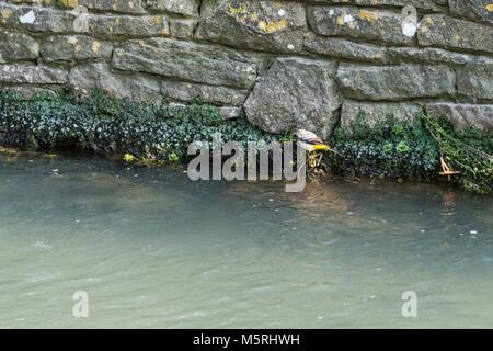 A grey wagtail (Motacilla cinerea) - Stock Photo