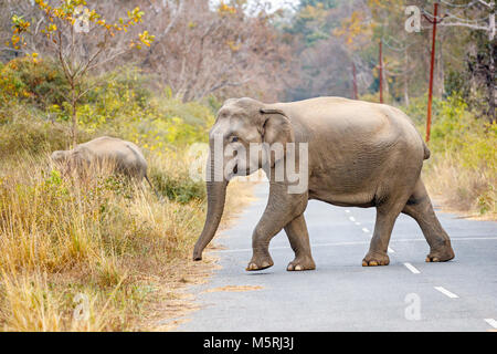 Indian elephant (Elephas maximus indicus) walking crossing a road, Jim Corbett National Park wildlife sanctuary, - Stock Photo