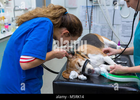 A veterinary surgeon examines the ear of a dog in a veterinary surgery - Stock Photo