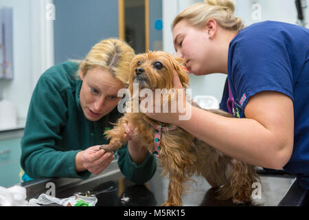 Veterinary surgeon checks the foot of a small dog in a veterinary surgery - Stock Photo