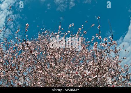 Almond Tree bloom in Algarve, Portugal - Stock Photo