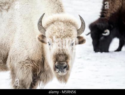 Sacred White Bison, Manitoba, Canada. - Stock Photo