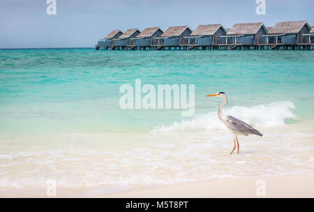 Turquoise ocean and grey heron on sandy beach in Maldives with water villas in the background - Stock Photo