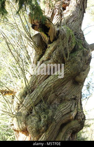Ancient Sweet Cheshnut tree (Castanea sativa)  centuries old standing in manor house gardens. - Stock Photo