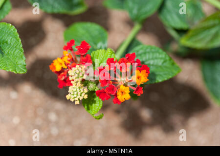 West Indian Lantana, Eldkrona (Lantana camara) - Stock Photo