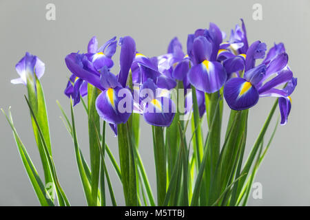 Iris sibirica in full flower, commonly known as Siberian iris or Siberian flag, - Stock Photo