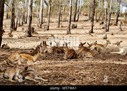 Family of deers in eucalyptus forest - Stock Photo