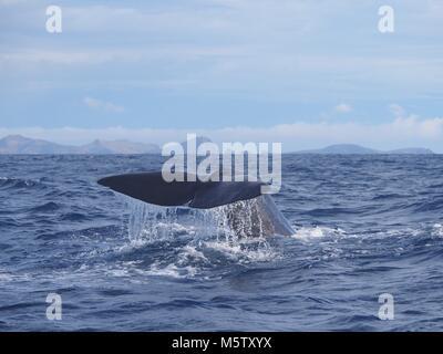 Sperm whale fluke, Madeira Island (Atlantic ocean) - Stock Photo
