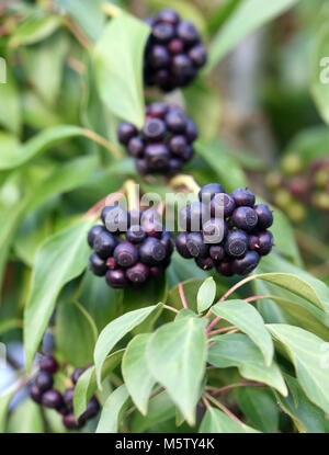 Black, ripe fruit on a mature ivy (Hedera helix helix) plant. The fruit do not ripen until the New Year and are - Stock Photo