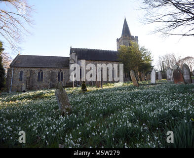 Naturalised snowdrops (Galanthus nivalis) cover the graveyard at St Mary's Church in Lamberhurst. Lamberhurst, Kent, - Stock Photo