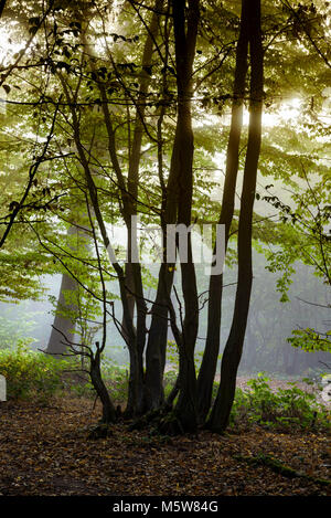 Misty morning, autumn sunlight trying to burn through the mist and fog, in a British woodland. - Stock Photo