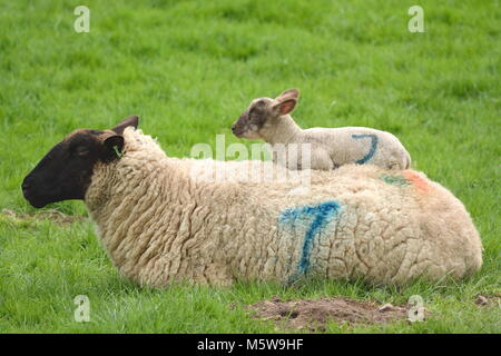 Spring lamb sleeping on the back of mother sheep on a farmland in East Devon - Stock Photo