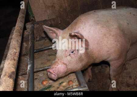 pig porks in suine stable - Stock Photo