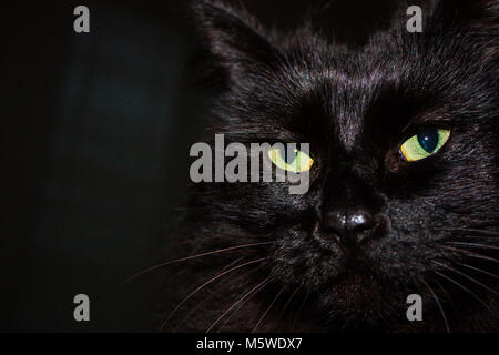 Black Himalayan cat face close up with glowing green eyes and long black fur - Stock Photo