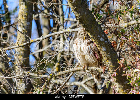 a Barred Owl sits in a tree located in Hominy, Oklahoma - Stock Photo