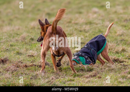 Two dogs digging in the grass, having fun together - Stock Photo