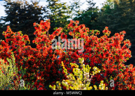 Red blossomed Chilean fire bush; Embothrium coccineum; inflorescence; view from Refugio Cuernos; Torres del Paine - Stock Photo