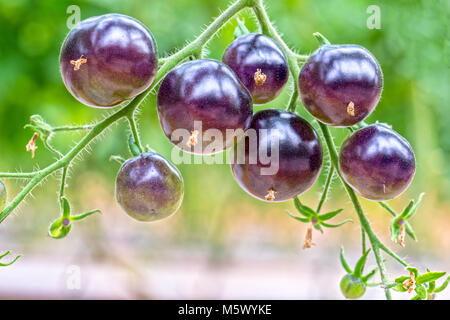 Indigo Rose Black tomato vine ripe in the garden. This type bred from red tomatoes and purple tomatoes are rich - Stock Photo
