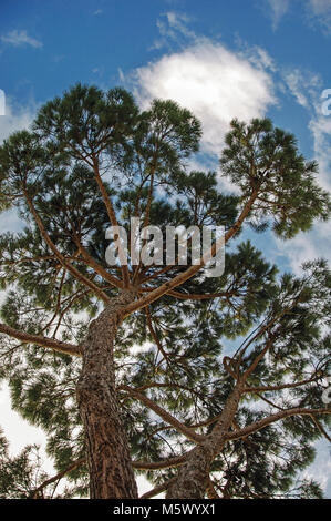 Close-up of pine tree on a sunny cloudy day at the Tuscan countryside, an unbelievable and traditional region in - Stock Photo