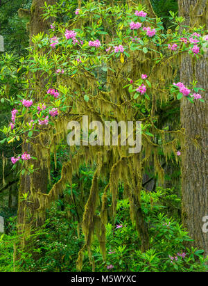 Rhododendron Bloom, Jedediah Smith Redwoods State Park, Redwood National and State Parks, California - Stock Photo