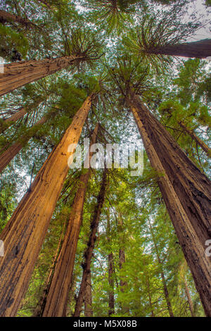 Cathedral Ring, Redwoods, Sequoia sempervirens, Muir Woods National Monument, Marin County, California - Stock Photo