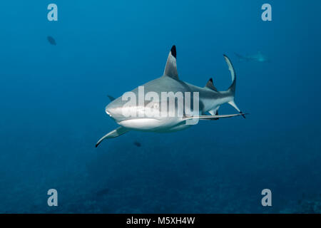 Blacktip reef shark (Carcharhinus melanopterus) over coral reef, Pacific Ocean, Moorea, Windward Islands, French - Stock Photo