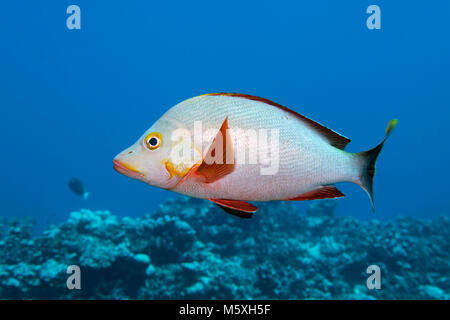 Humpback Red Snapper (Lutjanus gibbus), swims over coral reef, Pacific Ocean, Moorea, Windward Islands, French Polynesia - Stock Photo