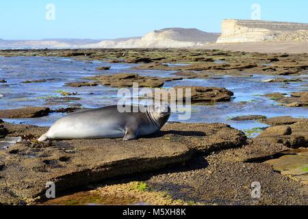 Southern elephant seal (Mirounga leonina) lying on rocks by the water, Isla Escondida, Chubut, Argentina - Stock Photo