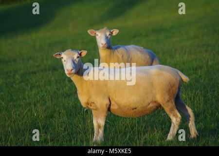 Pair of Sheep in a Lush Pasture Field in the Golden Evening Light of Summer. Powderham Estate, South Devon, UK. - Stock Photo
