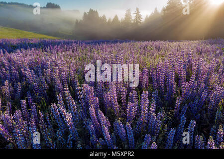 Lupin, Lupinus angustifolius, Lifting Fog, Williams Ridge, Redwood National Park, California - Stock Photo