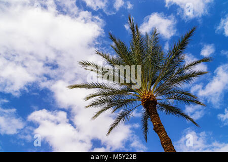 Bottom view of date palm tree (Phoenix dactylifera) with sky and fluffy clouds in background. Shot in Eilat, Israel. - Stock Photo
