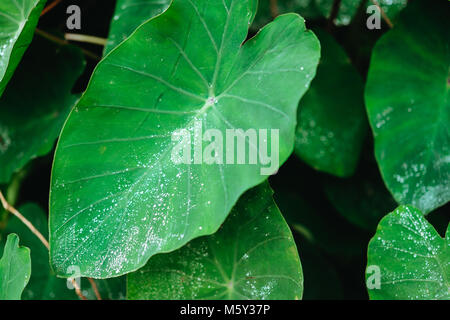Water drop on Lotus leaf, Deep green colored leaves, background - Stock Photo