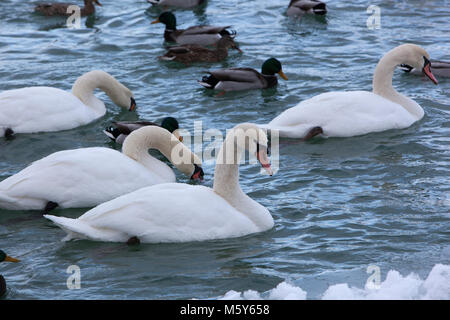 Mute Swans in a Cold, Snowy Blue River - Stock Photo