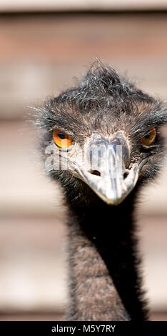 in the park of australia the free emu bird and the background - Stock Photo