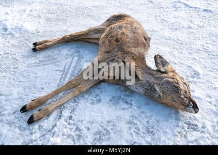 A dead Capreolus capreolus on sea ice in Espoo, Finland - Stock Photo